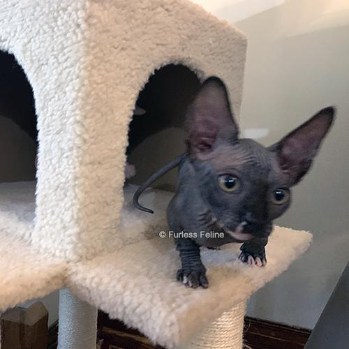 kitten-playing-on-cat-tree