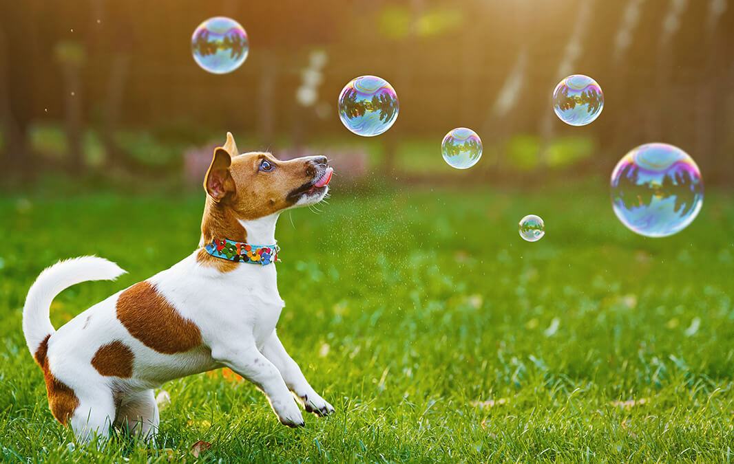 Dog on grass trying to touch bubbles