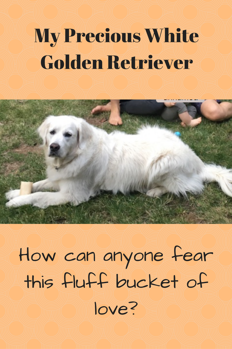 My Precious White Golden Retriever – Therapy for those afraid of dogs