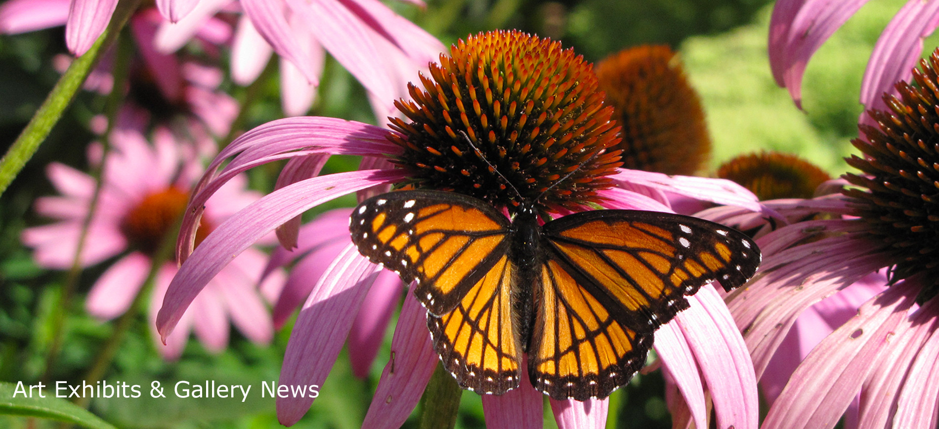 Butterfly on cone flowers ~ Art Exhibits & Gallery News