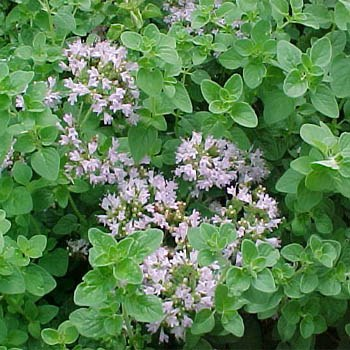 Picture of Oregano from Google images