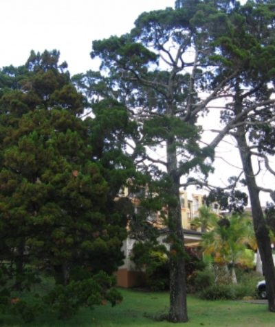 Arborist tree impact assessment report for development near Coastal Cypress Pine, Ballina