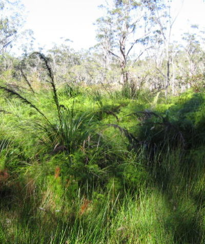 Ecologist survey for property vegetation plan of threatened freshwater wetland and swamp sclerophyll forest EECs, Bungawalbin via Casino
