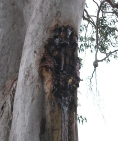 Incision marks from glider sap feeding on eucalypt, ecologist fauna habitat assessment for land subdivision west of Grafton