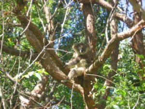 %name Koala Habitat Assessment