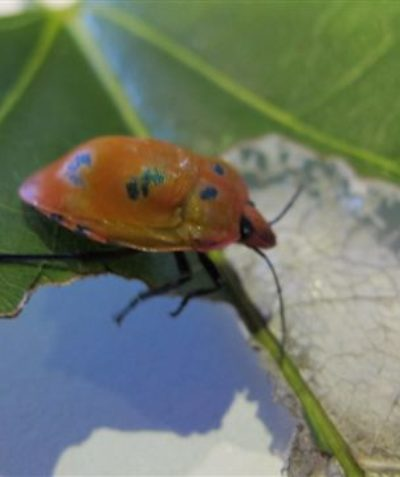 Harlequin beetle pest feeding on Flame Tree, arborist survey assessment, Byron Bay