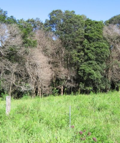 Ecologist rainforest vegetation monitoring following weed control, Alstonville