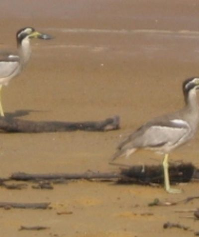 Threatened Beach Stone Curlew ecologist pre-clearing assessment, Cardwell North Queensland
