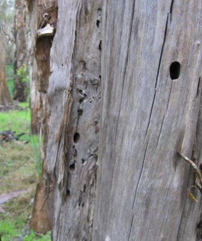 Threatened species fauna habitat assessment for Lismore City Council, Tatham via Lismore