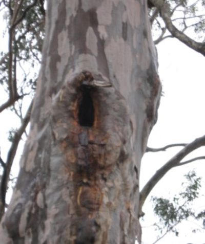 Ecologist survey of tree hollow numbers, size ranges and signs of use for proposed land subdivision at Kangaroo Creek via Grafton