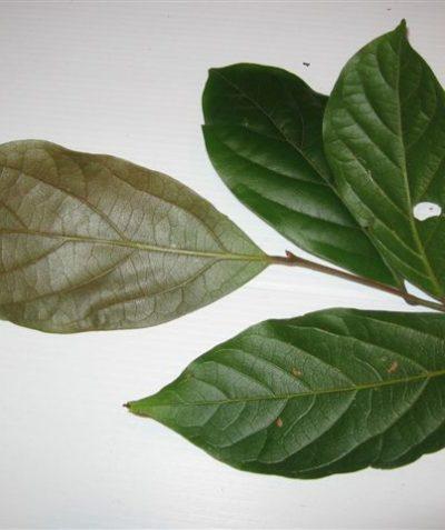 Threatened Northern Rose Walnut, ecologist survey inspection of lowland rainforest, Ballina