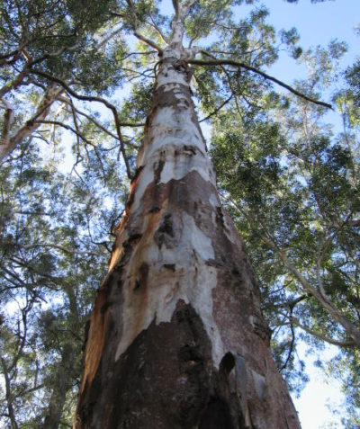 Ecologist koala habitat assessment including Spot Assessment Technique scat counts and tree scratch mark assessment, Illuka