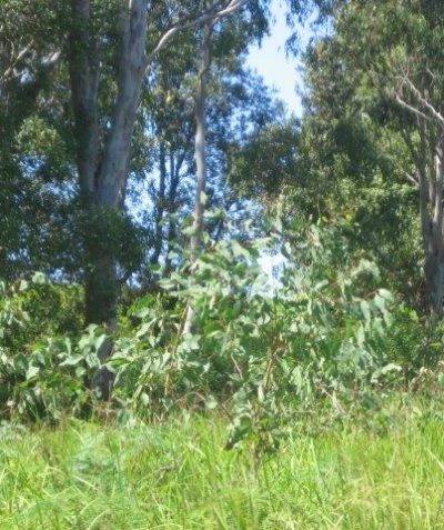 Ecologist bush fire vegetation, slope and distance assessment report in koala habitat, Tatham via Casino