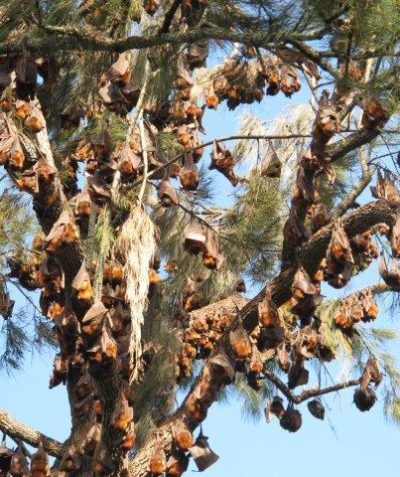 Ecologist Casino flying-fox camp plan including Grey-headed and periodically Little-red Flying-foxes in riverbank trees at Casino