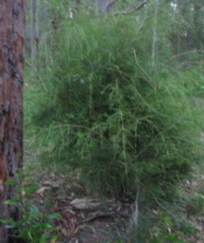 Threatened Weeping Paperbark (Melaleuca irbyana) ecologist assessment, New Italy via Woodburn