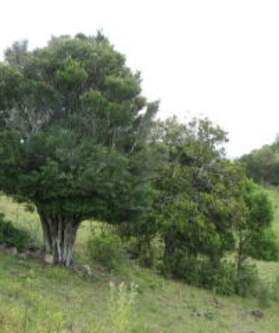 Isolated threatened Sweet Myrtle (Gossia fragrantissima) ecologist inspection, Lismore