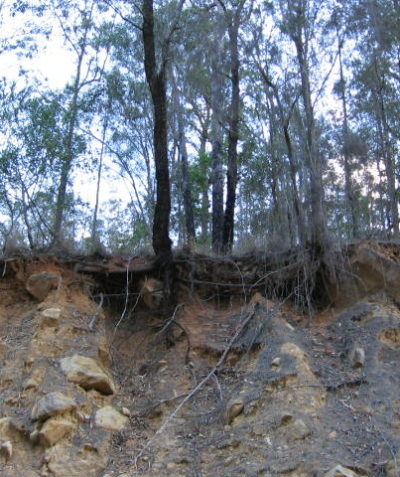 Roadside arborist tree risk and ecologist impact assessments and reports, Grevillea Kyogle
