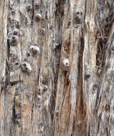 Arborist inspection of wasp parasitised scale pest on Tallowwood, Mullumbimby