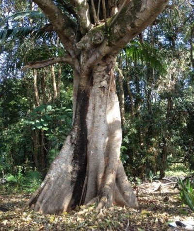 Arborist tree risk assessment of Small-leaved Fig in backyard, Federal via Bangalow