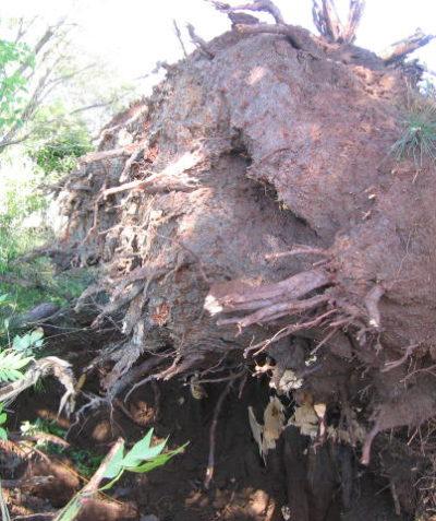 Arborist tree root ball assessment for tree failure analysis, Bangalow