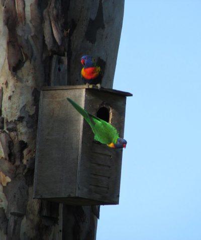 Rainbow Lorikeet using nest box
