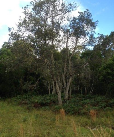 Coast Banksia tree health and condition assessment and recommendations report, Suffolk Park via Byron Bay