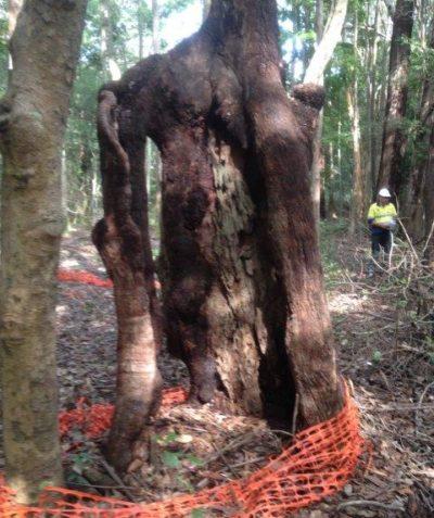 Aboriginal scar tree arborist impact assessment and report, Coolgardie via Ballina