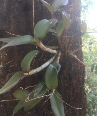Ironbark Orchid on Northern Grey Ironbark, pre clearing ecologist survey assessment, Grafton