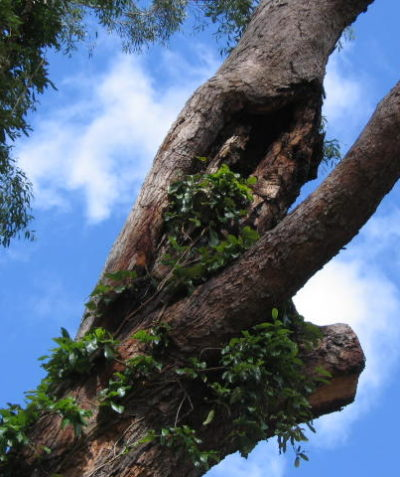 Tree health and condition assessment and report, Murwillumbah