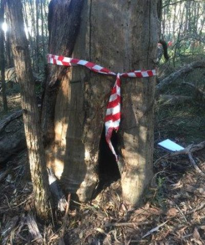 Tree condition and risk assessment of fauna habitat tree, Pacific Highway upgrade, Tabbimoble via Woodburn