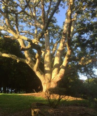 Cudgerie tree health and condition assessment and pruning recommendations, Eltham via Lismore