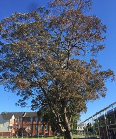 Gympie Messmate tree health and condition assessment following termite treatment, Lismore art gallery