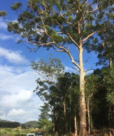Tree risk assessment of very tall Blackbutt for Pacific Highway upgrade, Coolgardie via Ballina