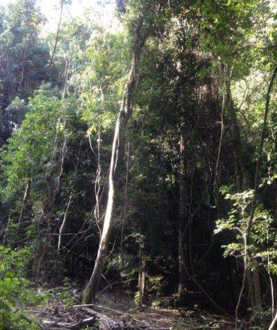 Lowland rainforest Endangered Ecological Community (EEC) environmental impact assessment for OEH, Cherry Tree SF via Casino