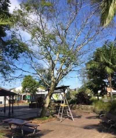 Arborist tree assessment and tree risk report, Main Street Alstonville, Ballina Shire Council