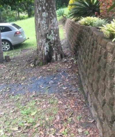 Plum Pine tree risk assessment for Ballina Shire Council following root damage, Ballina