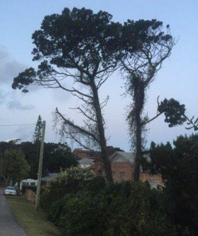 Callitris columellaris, Coast Cypress Pine, arborist tree assessment and risk report, East Ballina, Ballina Shire Council