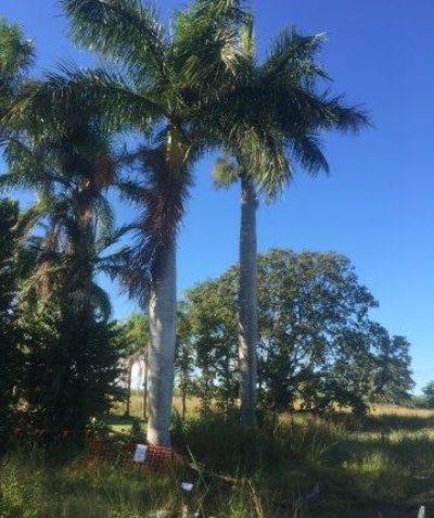Cuban Royal Palm tree impact assessment, Chatsworth via Yamba