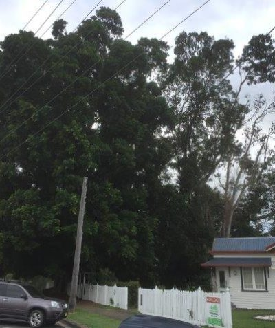 Threatened Grey-headed Flying-fox fig habitat removal licence application to OEH, Casino