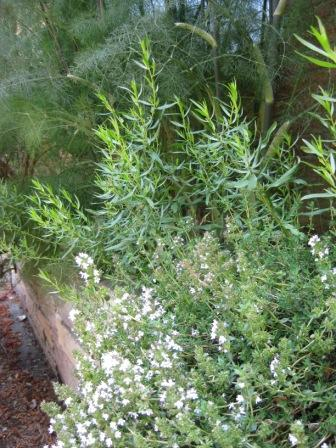 Happy thyme, tarragon and bronze fennel