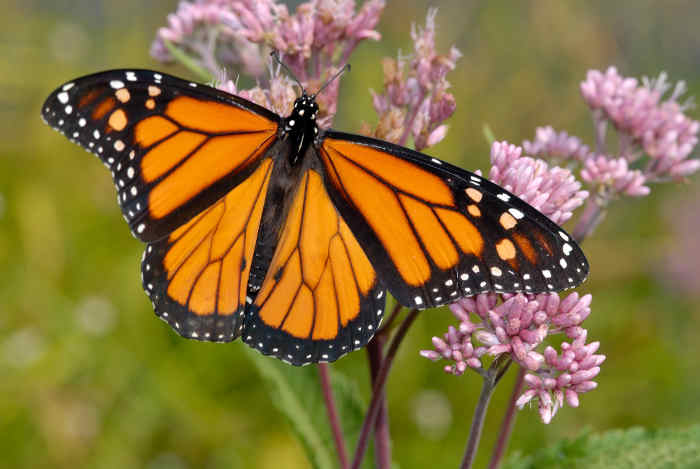 Monarch butterfly on pink milkweed plant