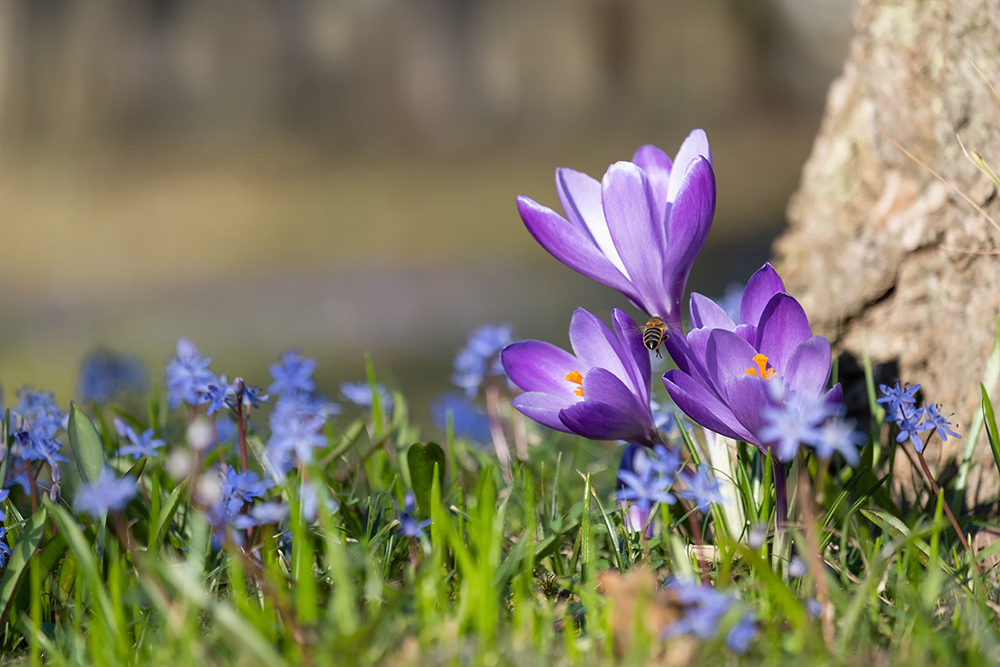 Spring, Crocuses and new beginnings