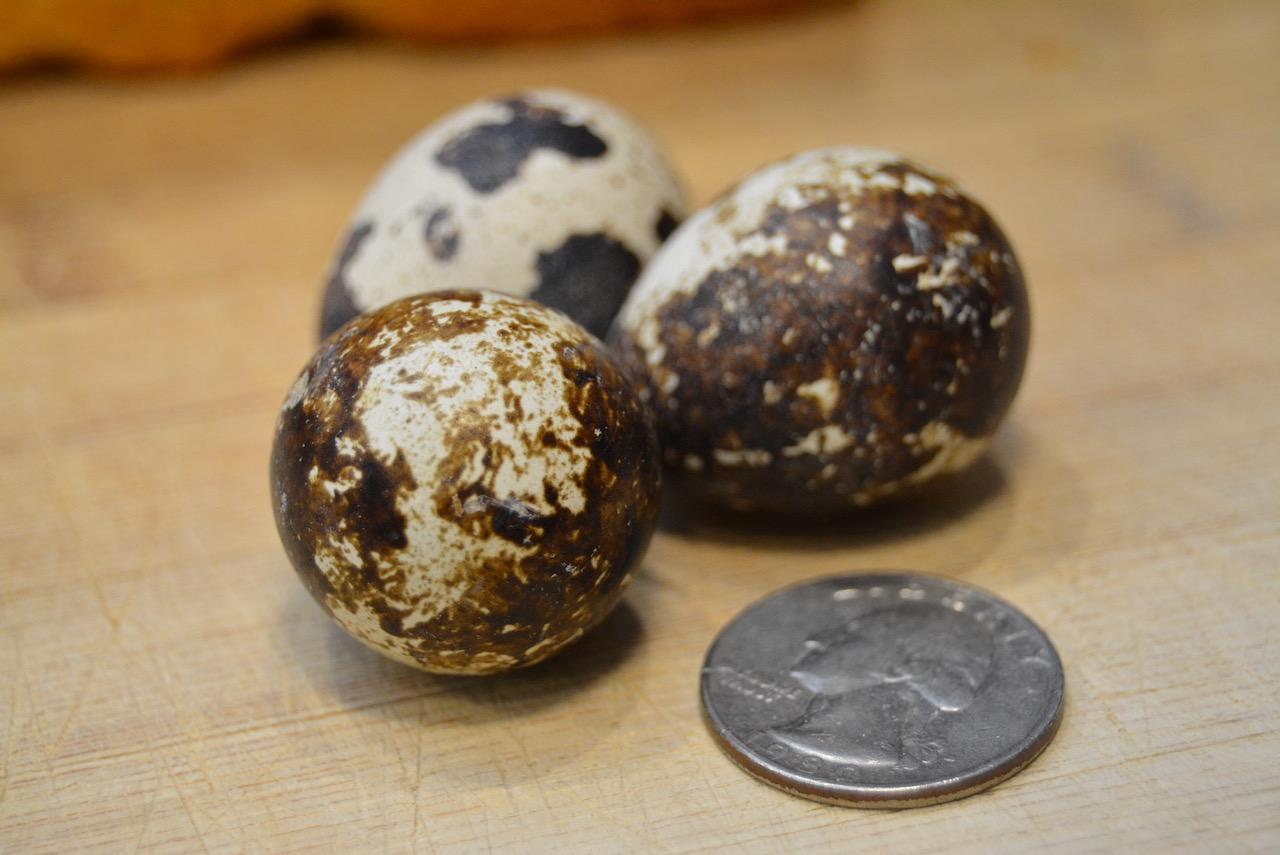 Three quail eggs next to a quarter to show relative size