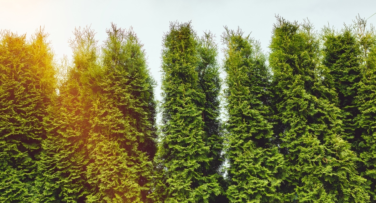 What Are The Best Trees For Privacy?