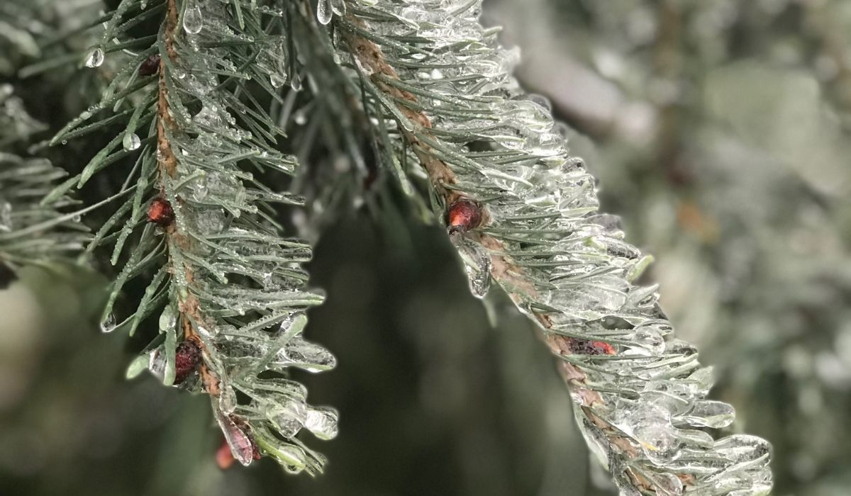 Do Your Broadleaf Evergreens Need Anti-Desiccant Spray for Winter Protection?