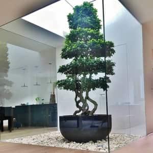 Imported Ficus Microcrapa Plant