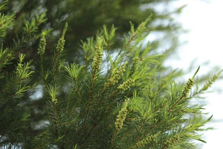 Everyday Uses for Tea Tree Oil