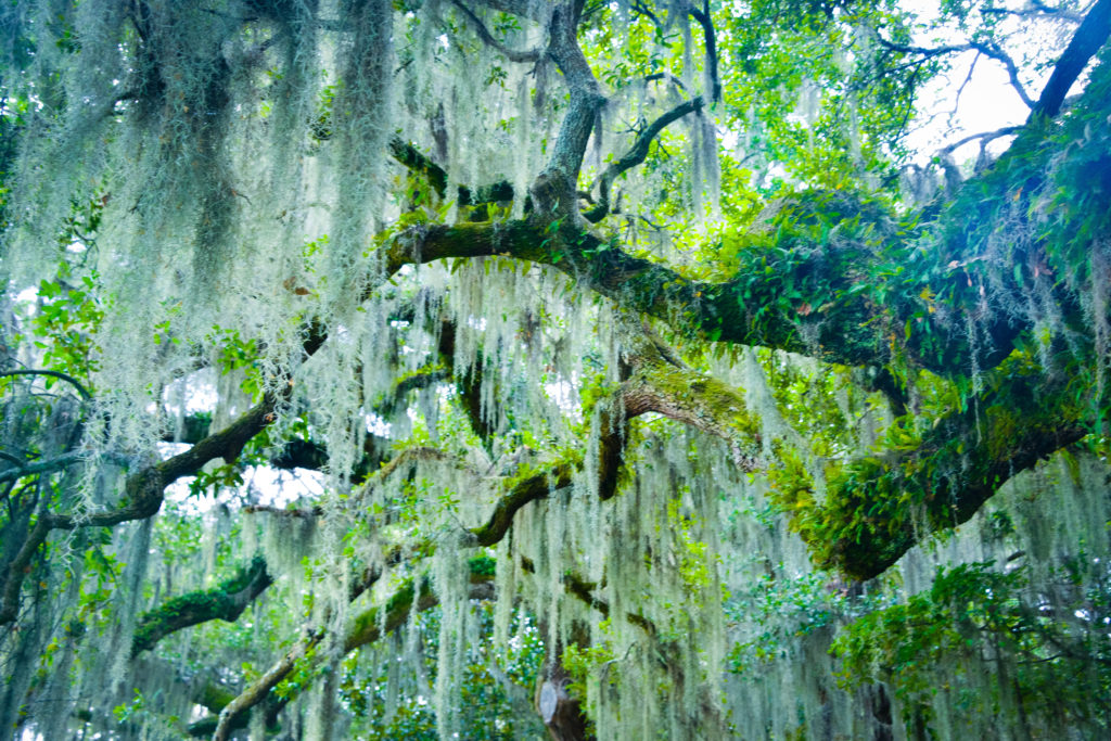 Spanish Moss South Carolina