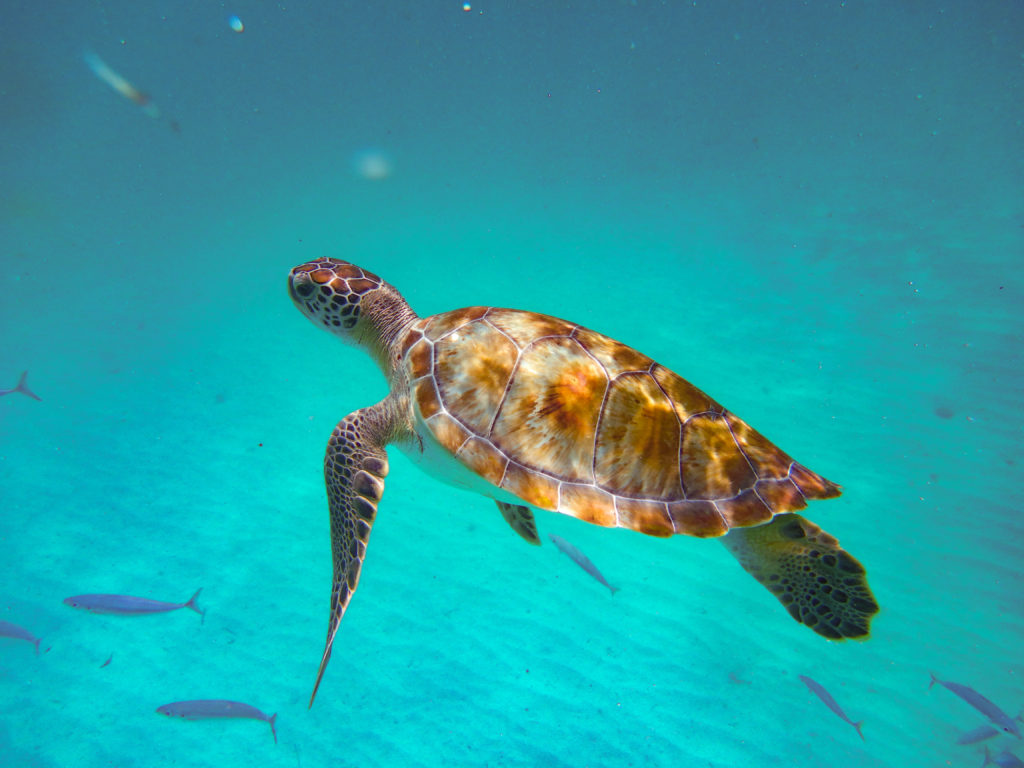 Barbados Sea Turtle