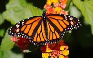 Monarch_Butterflies_Monterey_Bay